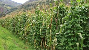 Bild 1: Mais/Stangenbohnen-Mischanbau in Peru