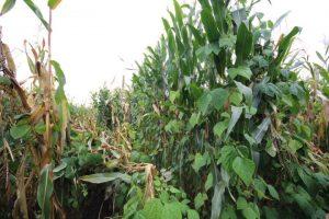 Bild 3: Neue, im Mischanbau mit Bohnen selektierte Maissorten mit extrem ausgeprägter Standfestigkeit