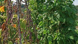 Bild 4: Herkömmliche, moderne Garten-Stangenbohne (links) und eine für den Mischanbau mit dem Mais geeignete Stangenbohnesorte (rechts)