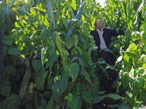 Bild 6: Maissorte Fernandez mit Bohnensorte 'Anellino verde', beide Partner mit 7,5 Pflanzen pro Quadratmeter bilden einen perfekten Bestand. Im Bild Friedemann Ebner, Bohnenzüchter bei der Sativa Rheinau AG, Rheinau/ Schweiz.