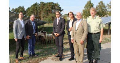 Suffolk-Schafe weiden im Solarpark